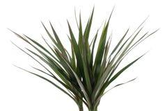 Leaf of dracena Royalty Free Stock Photo