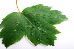 Leaf with drop Stock Photos