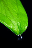Leaf and drop. Glossy green leaf with drop on a black background Royalty Free Stock Images