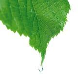 Leaf drop Royalty Free Stock Image