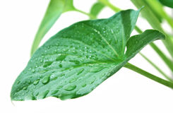 Leaf in drop dew Royalty Free Stock Image