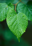 Leaf with droplets Royalty Free Stock Images