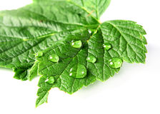 Leaf and drops royalty free stock photos