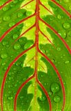 Leaf  with  drops Stock Images