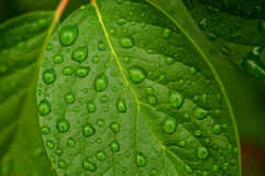 Leaf & drops Royalty Free Stock Image