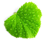 Leaf with drops. Close up of green leaf with water drops, white background Stock Photography