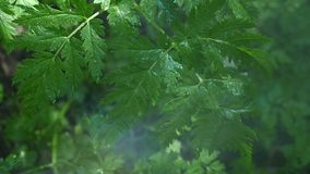 Leaf with drops close-up sequence stock footage