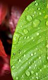 Leaf drops Royalty Free Stock Image