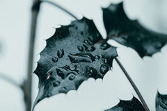 Leaf in drops of dew.   Dark leaf in drops of dew Stock Photo