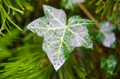Leaf with drops Royalty Free Stock Photos