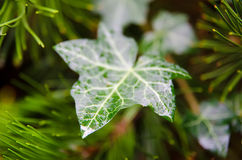 Leaf with drops Royalty Free Stock Image