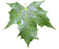 Leaf with drops isolated on white. Leaf with rain drops isolated on white Stock Photography
