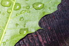 Leaf and drops of rain Stock Image