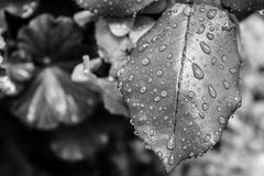 A leaf with drops of rain royalty free stock images