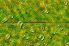 Leaf  drops of water Royalty Free Stock Image