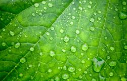 Leaf and drops of water on it Royalty Free Stock Photography