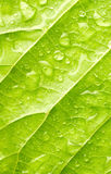 Leaf with drops of water Royalty Free Stock Photo
