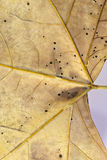 Leaf dry. Shown in the foreground details of a dry leaf Royalty Free Stock Images