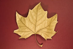 Leaf dry. It shows a dead leaf on a maroon background Royalty Free Stock Images