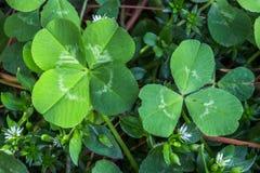 4-leaf e 3 trevos da folha Fotografia de Stock