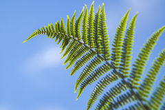 Leaf of a Eagle fern (Pteridium aquilinum) Royalty Free Stock Photo