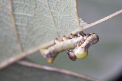 Leaf-eating caterpillar Royalty Free Stock Images