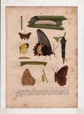 Leaf-eating caterpillar and butterfly 1919th stock image