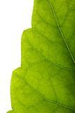Leaf Edge Royalty Free Stock Photo