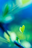 Leaf Emerging in Spring Royalty Free Stock Photography