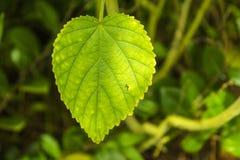 leaf en Arkivfoton