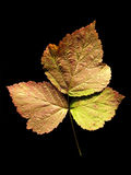 Leaf of European dewberry Royalty Free Stock Photography