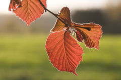Leaf in evening sun. Red Leaf from a hazel in evening sun royalty free stock photography