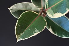 Leaf of exotic a `Ficus Elastica Variegata` rubber tree plant on black background royalty free stock photos