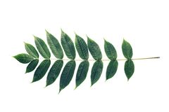Leaf, Exotic plant, Branch, acacia, set of leaves, white backgro. Deciduous plant. Acacia branch with many leaves on a white background Stock Images