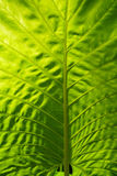 Leaf of exotic tropical plant, close-up. Thailand Stock Image