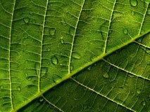 leaf för 2 droppe Royaltyfri Foto