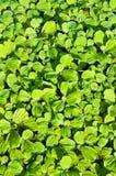 leaf för azollabakgrundsfern Arkivbilder