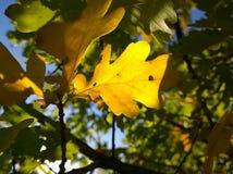 Leaf för gul oak royaltyfri foto
