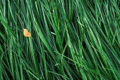 leaf för höstgräsgreen Arkivbild