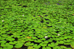 Leaf för många lotusblommar Royaltyfria Bilder