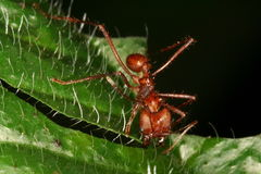 leaf för myraattacutting Royaltyfria Bilder