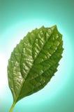 Leaf för ny mint Arkivbilder