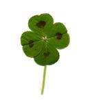 leaf för växt av släkten Trifolium fyra fotografering för bildbyråer