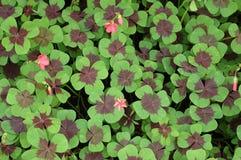 leaf för växt av släkten Trifolium fyra royaltyfria foton