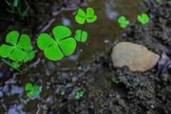 leaf för växt av släkten Trifolium fyra Royaltyfri Bild