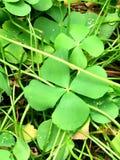 leaf för växter av släkten Trifolium fyra Arkivbild