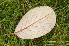 Leaf face down on grass showing veins Royalty Free Stock Photography