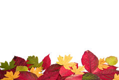 Leaf fall. Many autumn leaves on the isolated white background Stock Images