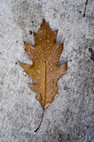 Leaf in fall Royalty Free Stock Photo