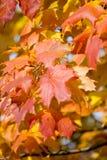 Leaf fall. Maple tree leaf fall in autumn Royalty Free Stock Photos